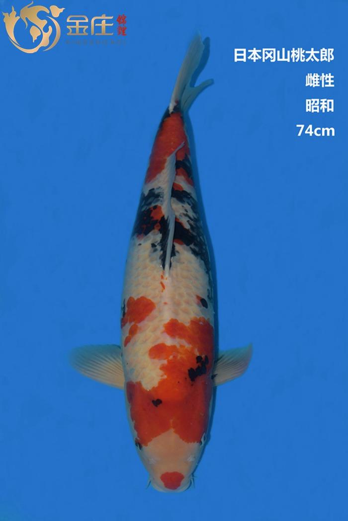 桃太郎74CM雌性昭和亚博体育app网址