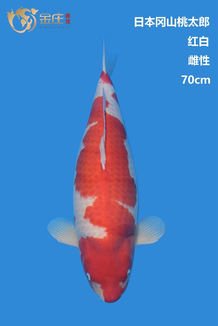 桃太郎70cm雌性红白亚博体育app网址