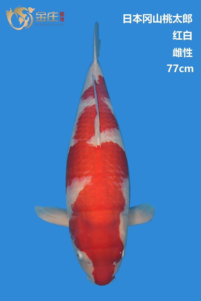 桃太郎77cm雌性红白亚博体育app网址