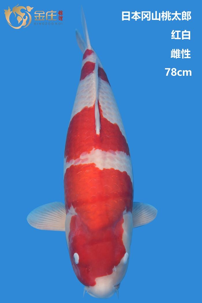 桃太郎78cm雌性红白亚博体育app网址
