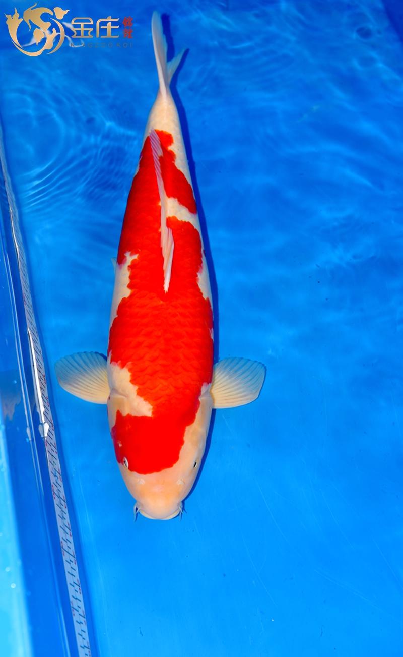 55cm红白母鱼15年产_副本_副本.jpg