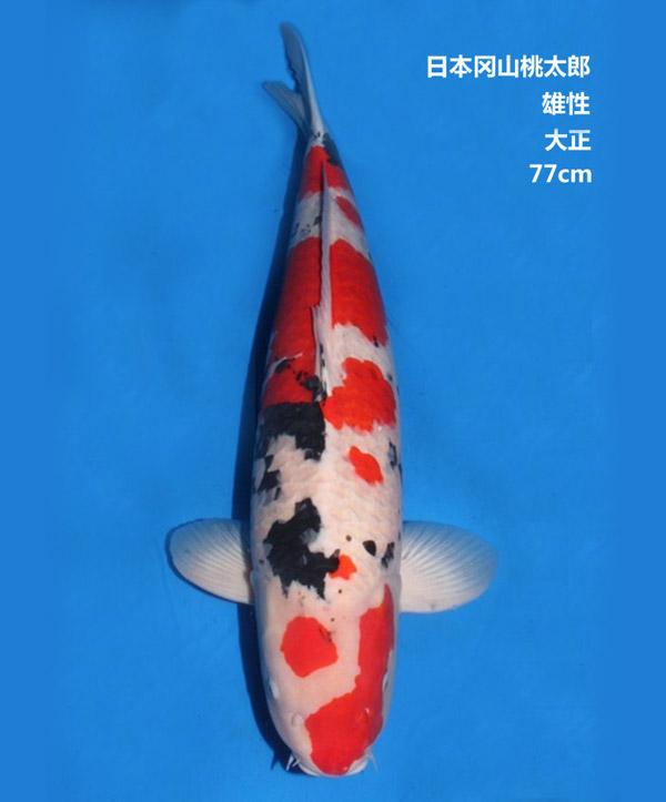 77cm雄性大正三色锦鲤