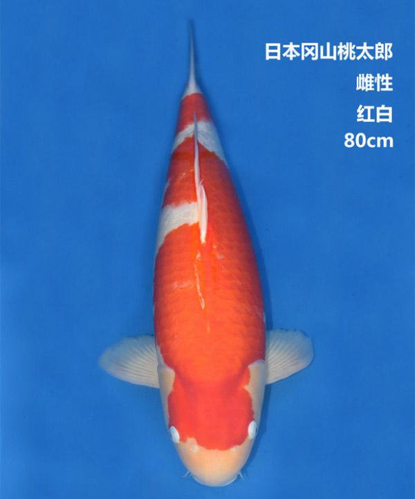 桃太郎80cm红白锦鲤
