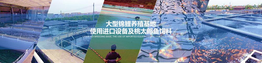 大型亚博体育app网址养殖基地 使用进口设备及桃太郎鱼饲料