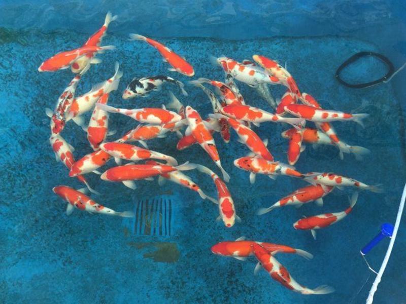 桃太郎锦鲤C3池40-45cm