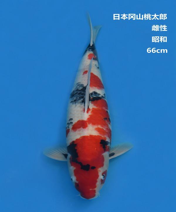 桃太郎66CM昭和锦鲤