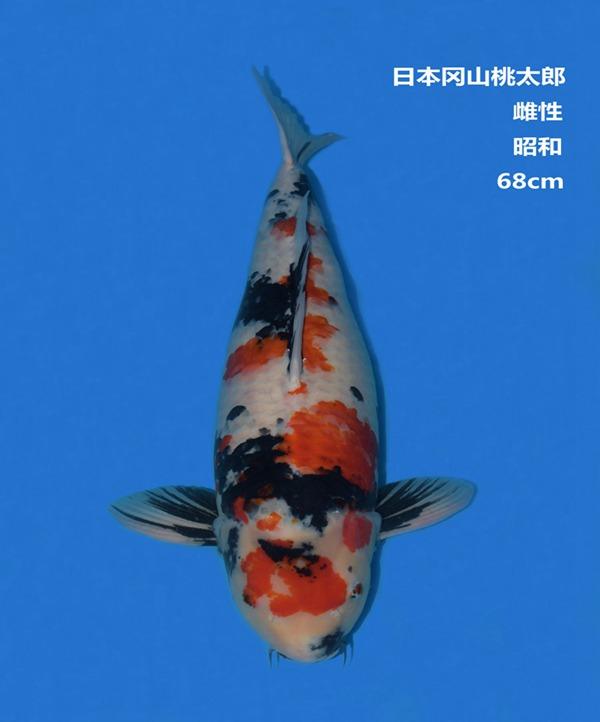 桃太郎68CM昭和锦鲤
