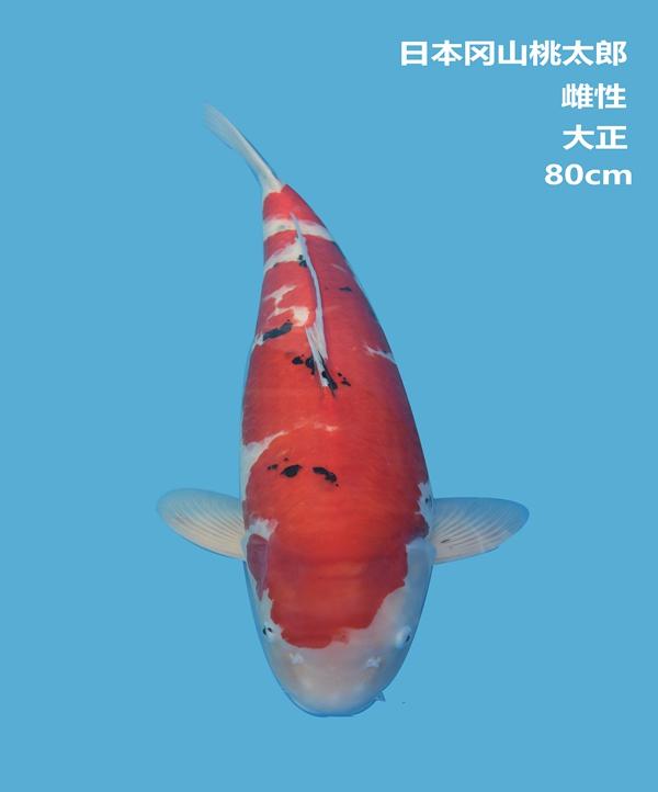 桃太郎80cm大正锦鲤