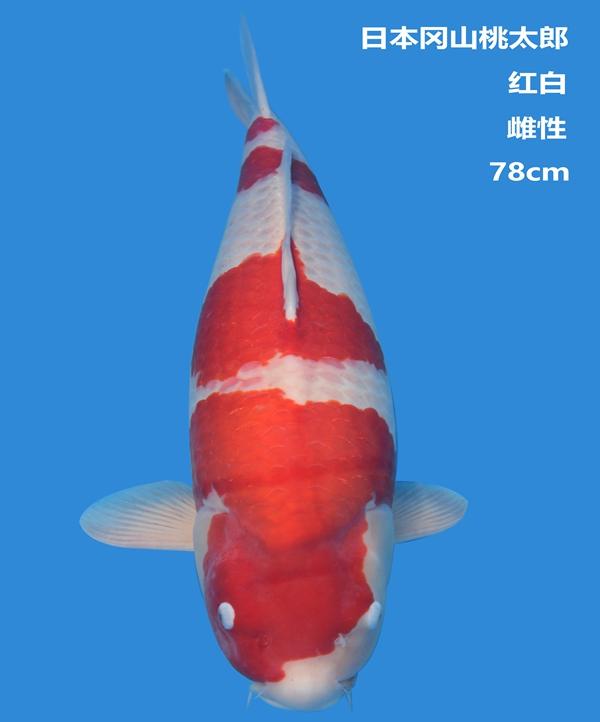 桃太郎78cm红白锦鲤
