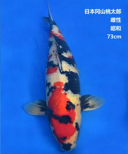 桃太郎73cm昭和亚博体育app网址