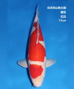 桃太郎73cm红白亚博体育app网址