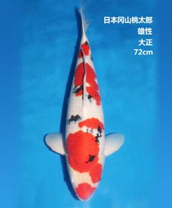 72cm雄性大正三色亚博体育app网址