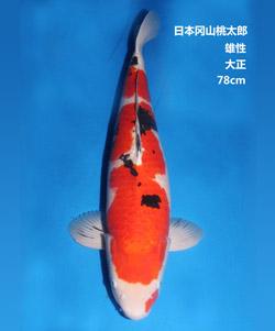 78cm雄性大正三色锦鲤