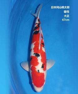 拍卖-67cm雄性大正三色锦鲤