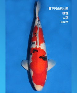拍卖-68cm雄性大正三色锦鲤