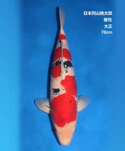 拍卖-70cm雄性大正三色锦鲤