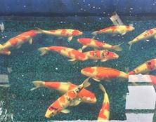 桃太郎锦鲤A4池60-70cm