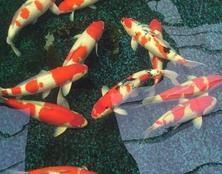 桃太郎锦鲤D3池60-65cm