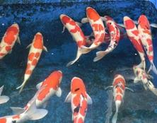 桃太郎锦鲤A1池60-78cm