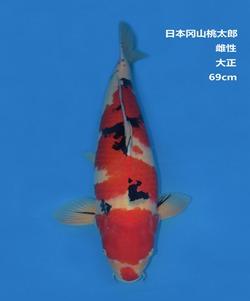 桃太郎69CM大正锦鲤