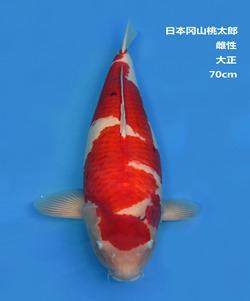 桃太郎70CM大正锦鲤