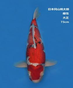 桃太郎73CM大正亚博体育app网址