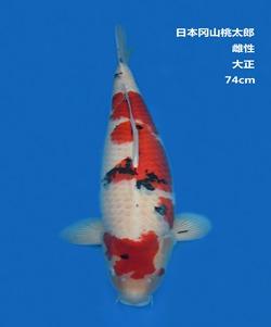桃太郎74CM大正亚博体育app网址