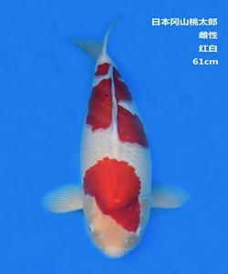 桃太郎61CM红白锦鲤