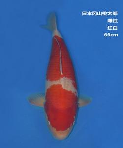 桃太郎66CM红白锦鲤