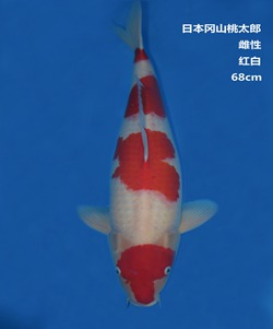 桃太郎68CM红白锦鲤