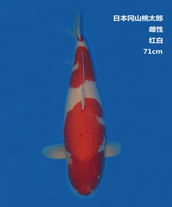 桃太郎71CM红白锦鲤