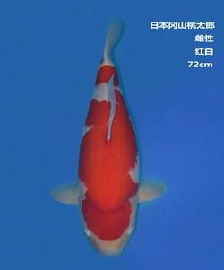 桃太郎72CM红白锦鲤