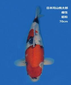 桃太郎70CM昭和亚博体育app网址