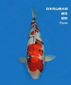 桃太郎71CM昭和锦鲤