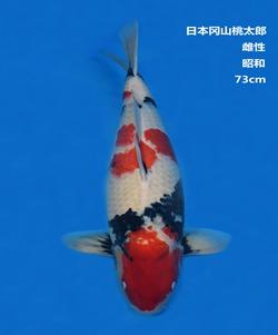桃太郎73CM昭和锦鲤