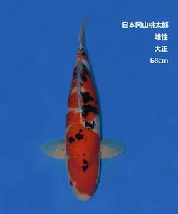 桃太郎68CM大正锦鲤