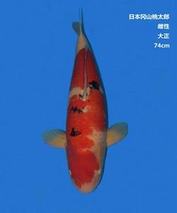 桃太郎74CM大正锦鲤