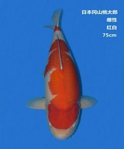 桃太郎75CM红白锦鲤