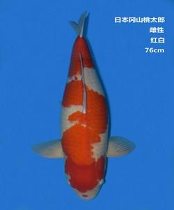 桃太郎76CM红白锦鲤