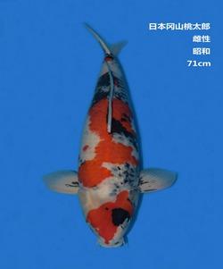 桃太郎71CM昭和亚博体育app网址