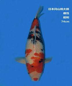 桃太郎74CM昭和锦鲤