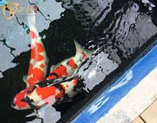 桃太郎锦鲤A3池70-90cm