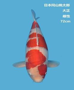 桃太郎72cm大正锦鲤