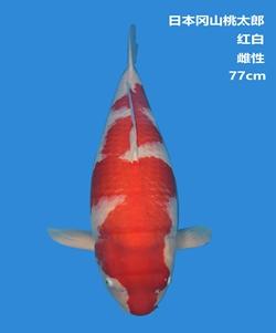 桃太郎77cm红白亚博体育app网址