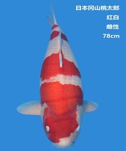 桃太郎78cm红白亚博体育app网址