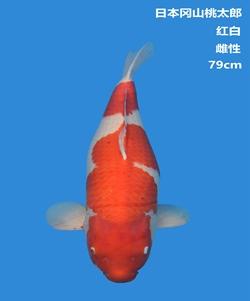 桃太郎79cm红白锦鲤