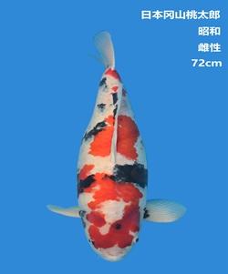 桃太郎72CM昭和锦鲤